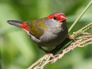 Red-browed Finch at Cleveland