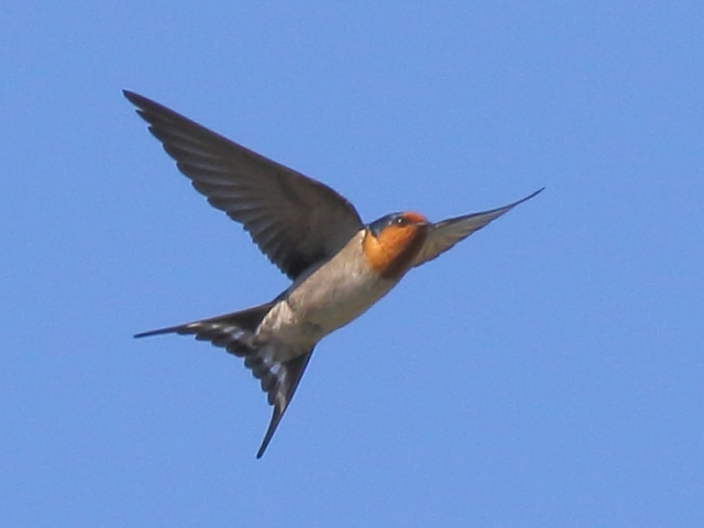 Welcome Swallow at Cleveland