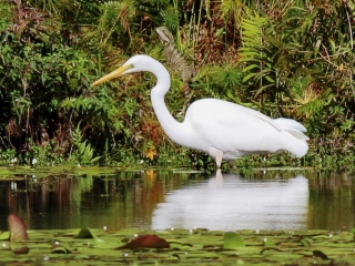 Great Egret and a lurking dragon at Crystal Waters