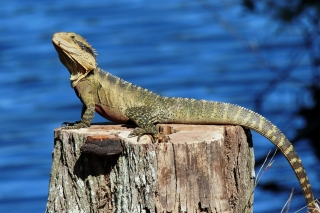 Eastern Water Dragon at Crystal Waters