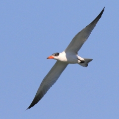 Caspian Tern (Toondah Harbour, Cleveland)