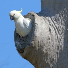 Sulphur-crested Cockatoo (Cleveland)