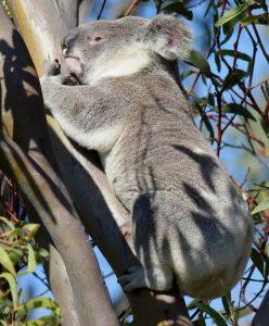 Koala in Geoff Skinner Wetlands