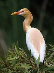 Cattle Egret in breeding colours at Crystal Waters