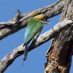 Rainbow bee-eater in the Geoff Skinner Wetland Reserve