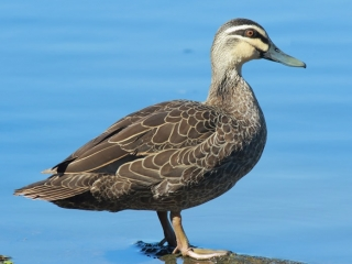 Pacific Black Duck at Crystal Waters