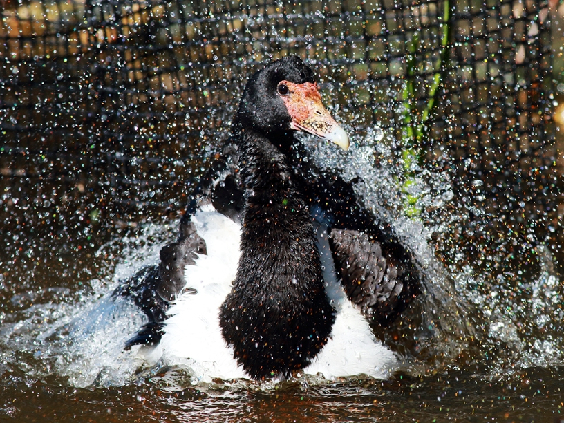 Magpie Goose having a wash at Crystal Waters