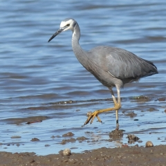 White-faced Heron (Oyster Point, Cleveland)