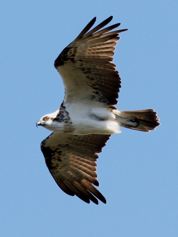Osprey (Wellington Point)