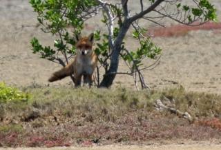 European red fox in the Geoff Skinner Wetland Reserve