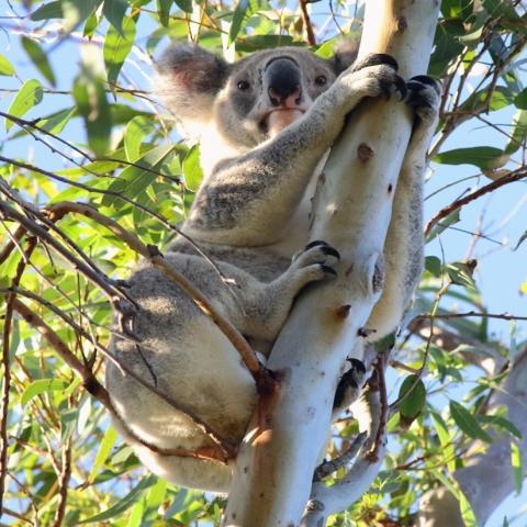 Koala in the Geoff Skinner Wetlands Reserve 29 March 2016