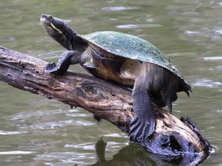 Brisbane River Turtle at Crystal Waters