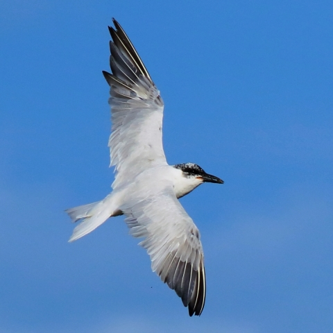 Gull-billed Tern (Tondah Harbour, Cleveland)