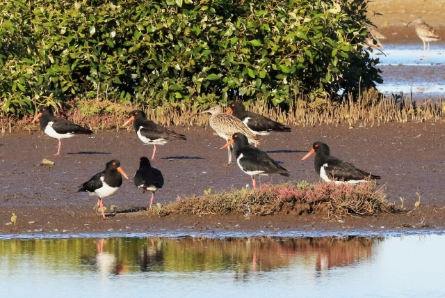 Pied Oystercatchers in the Geoff Skinner Wetlands Reserve 27 September 2016