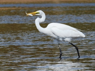 Great Egret (Wellington Point)