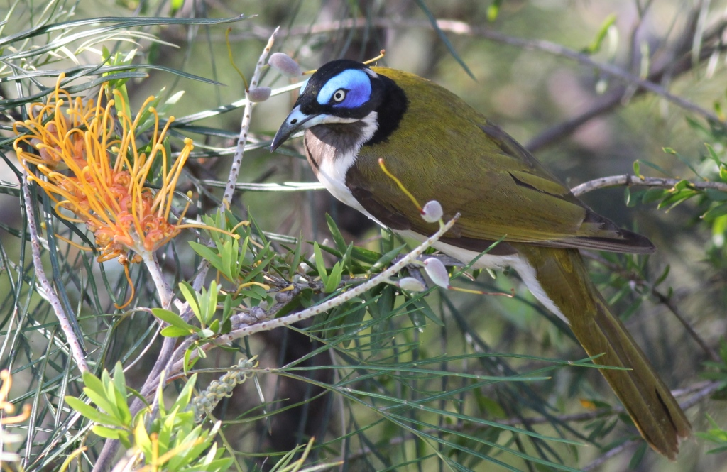 Blue-faced Honeyeater (Cleveland)