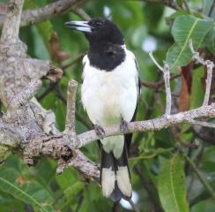 Pied Butcherbird (Cleveland)