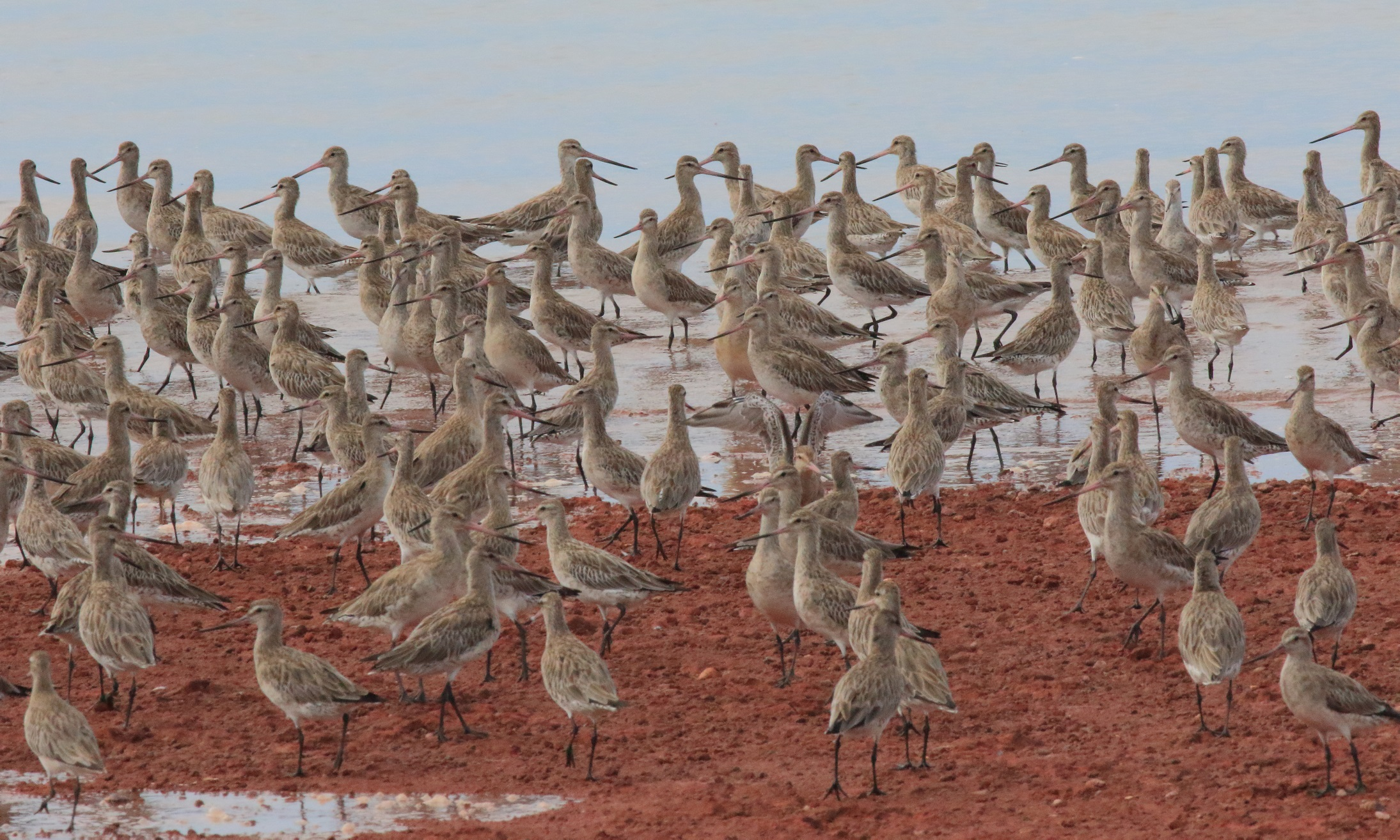 084 Bar-tailed godwits Oyster Point Cleveland 23 January 2016 comp