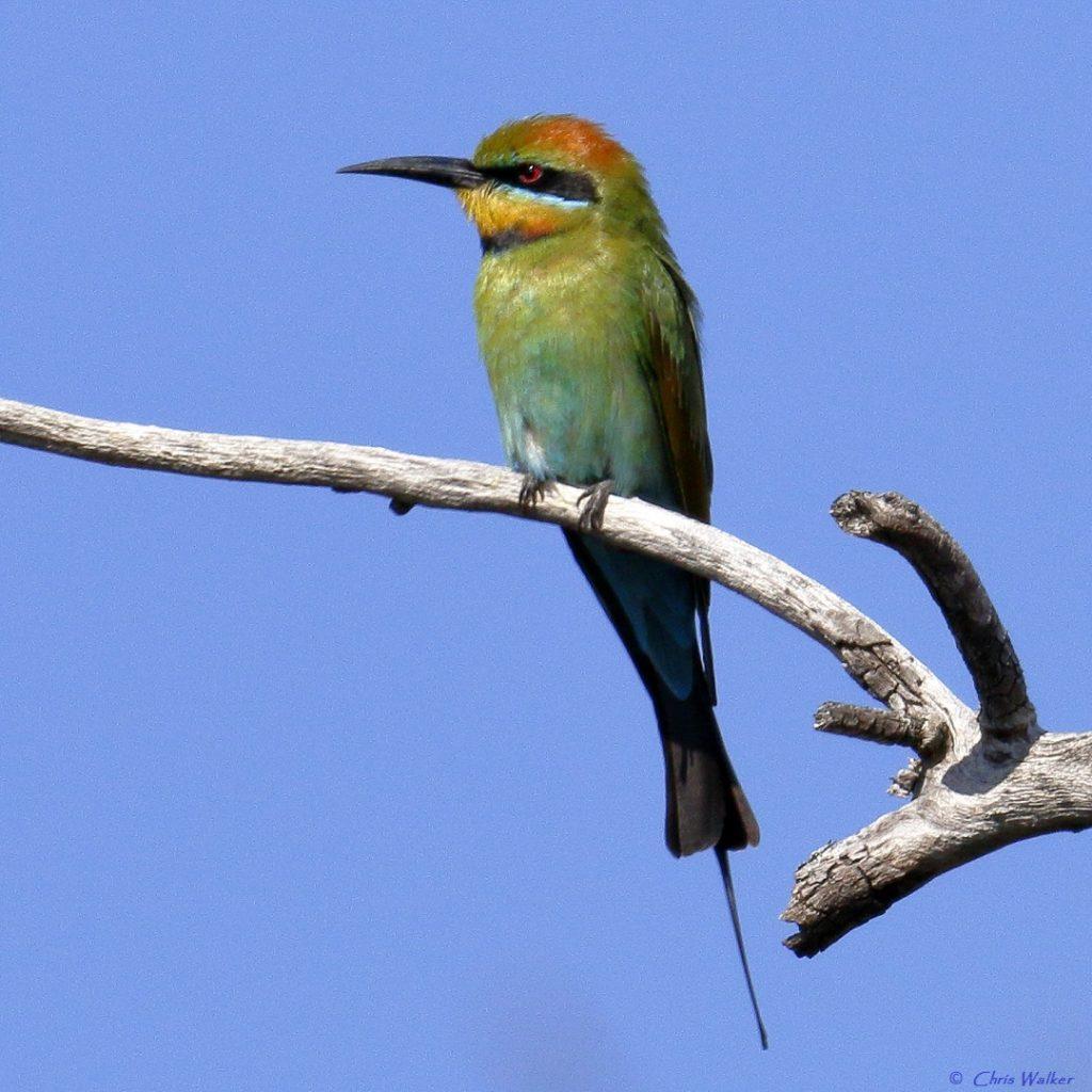 Rainbow bee-eater in the Geoff Skinner Wetlands Reserve