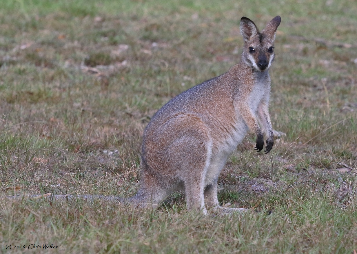 Red-necked Wallaby in the Venman Conservation Area