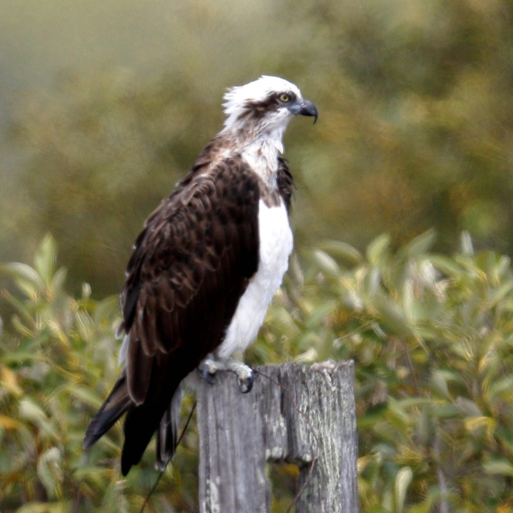Eastern osprey in the Geoff Skinner Wetlands Reserve