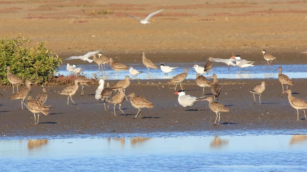 Eastern curlews in the Geoff Skinner Wetlands Reserve