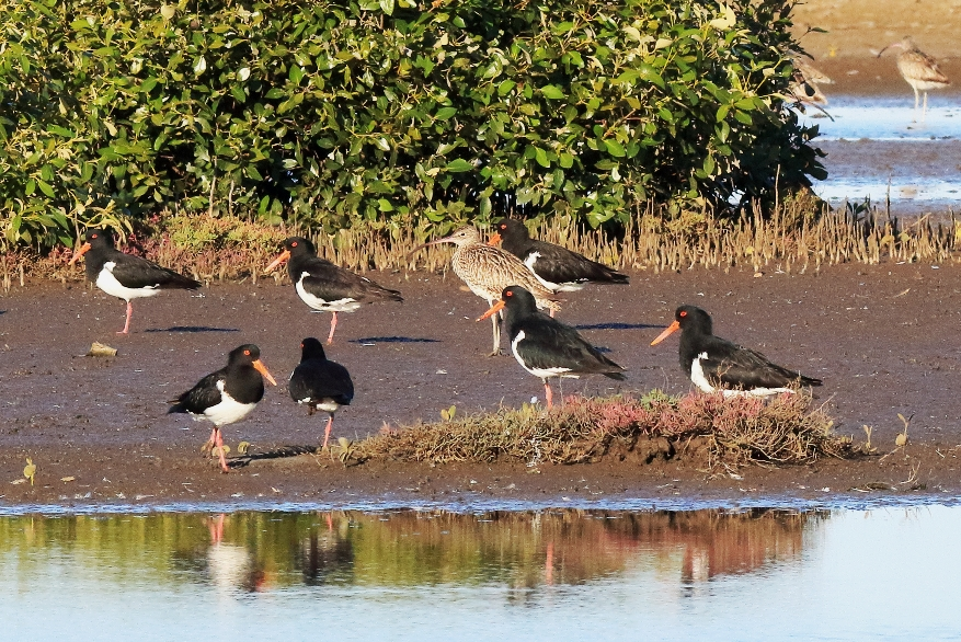 Pied oystercatchers in the Geoff Skinner Wetlands Reserve