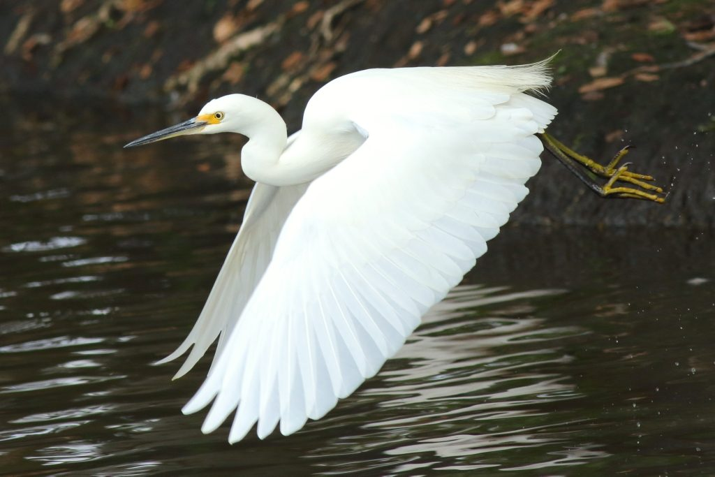 Little Egret at Crystal Waters