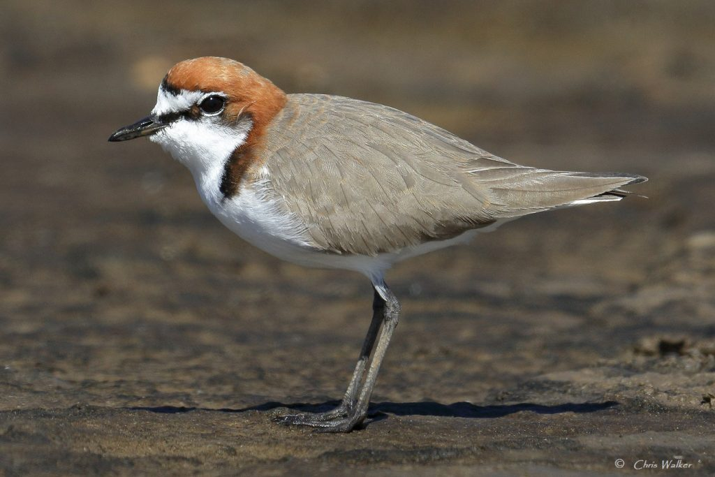 Red-capped plover in the Geoff skinner Wetlands Reserve