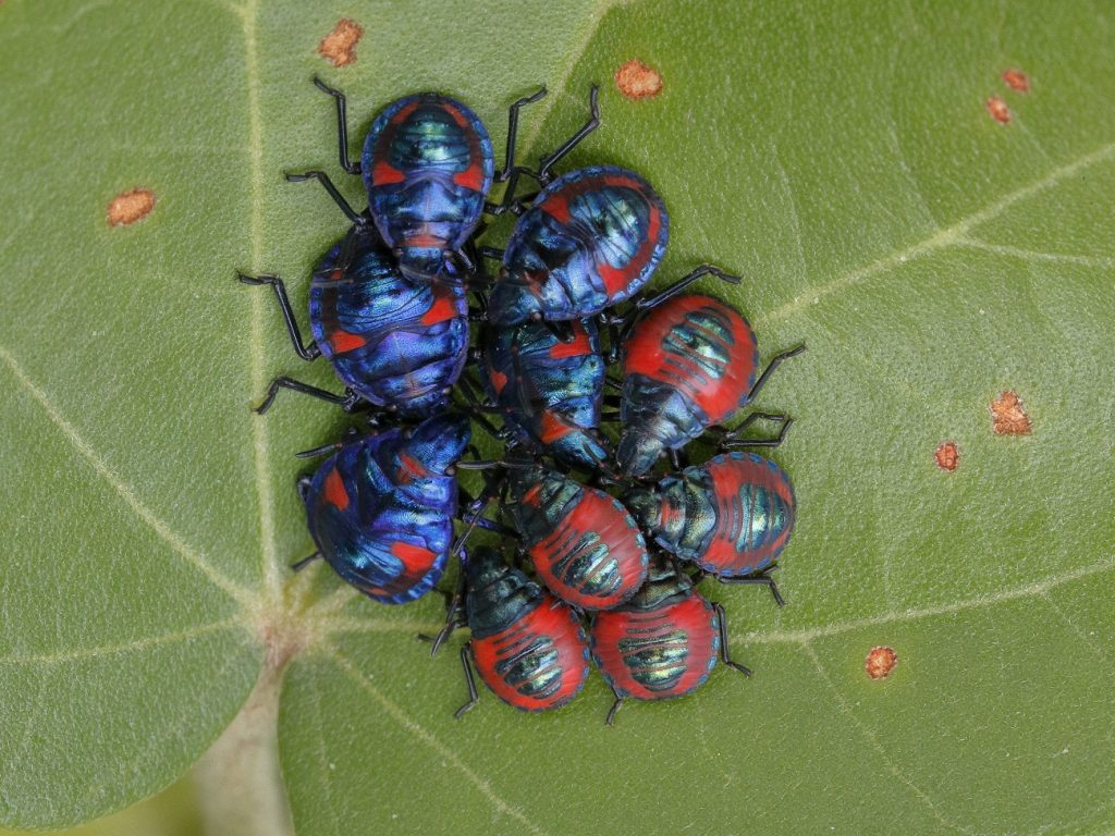 10 Harlequin bugs on a cotton tree - Wild Redlands Christmas Countdown 2020.