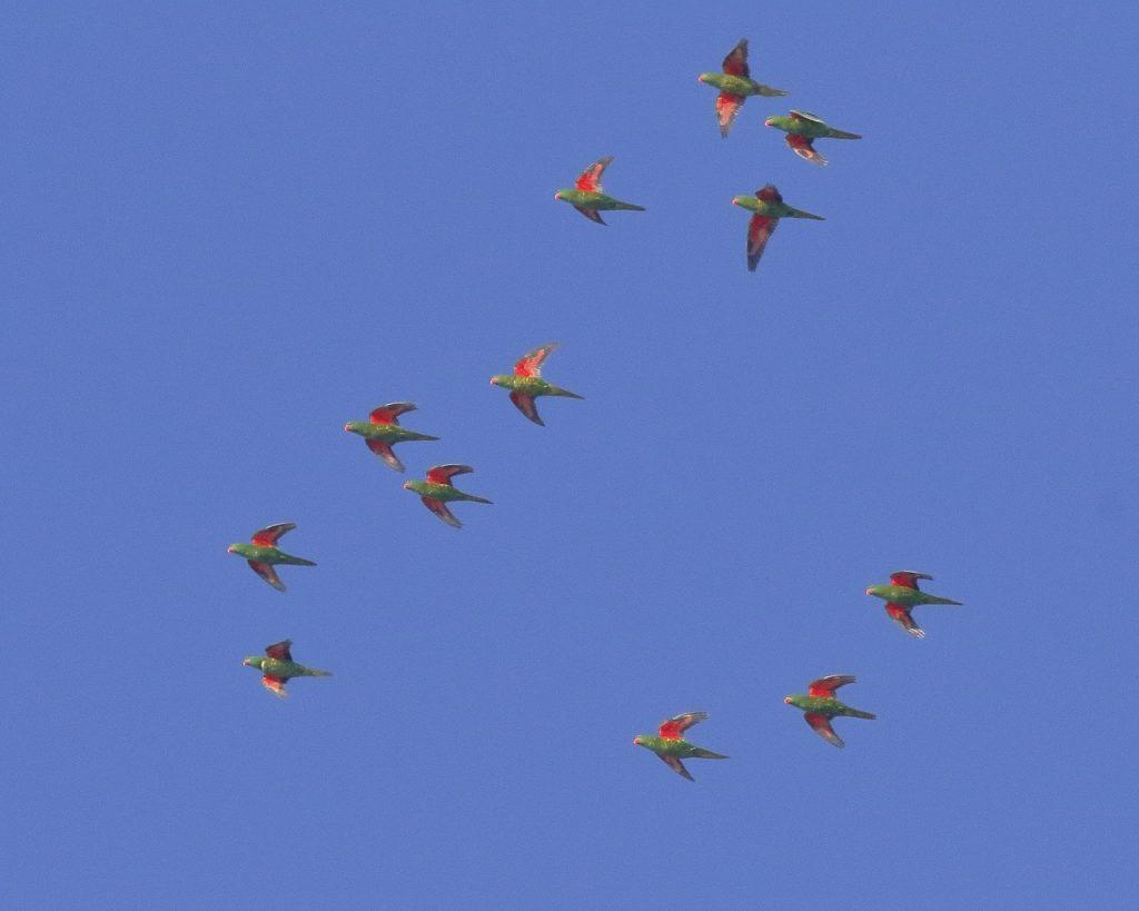 12 Rainbow lorikeets - Wild Redlands Christmas Countdown 2020.