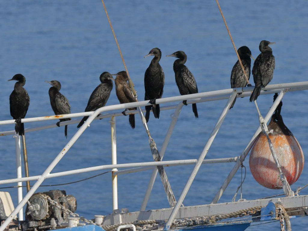 Eight little black cormorants at Dunwich (Goompi) - wild Redlands Christmas Countdown 2020.