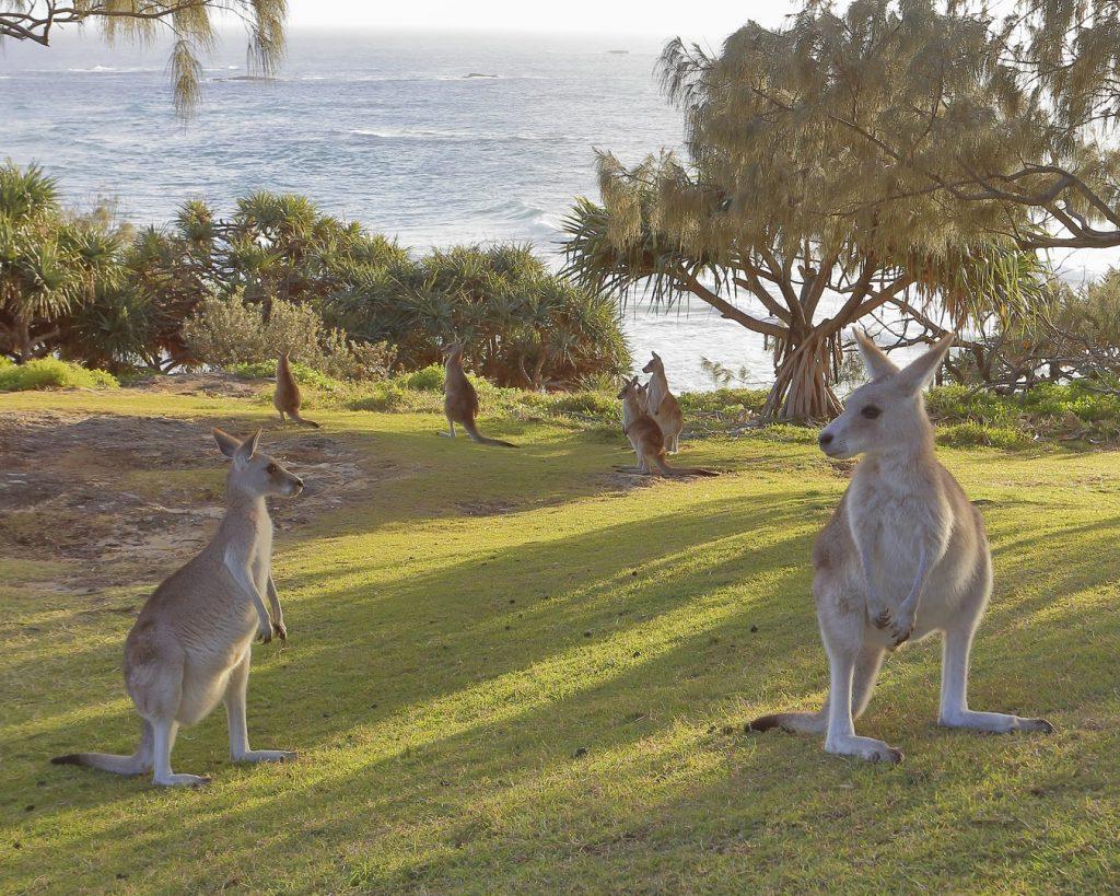 Seven Straddie kangaroos - Wild Redlands Christmas Counctdown 2020.