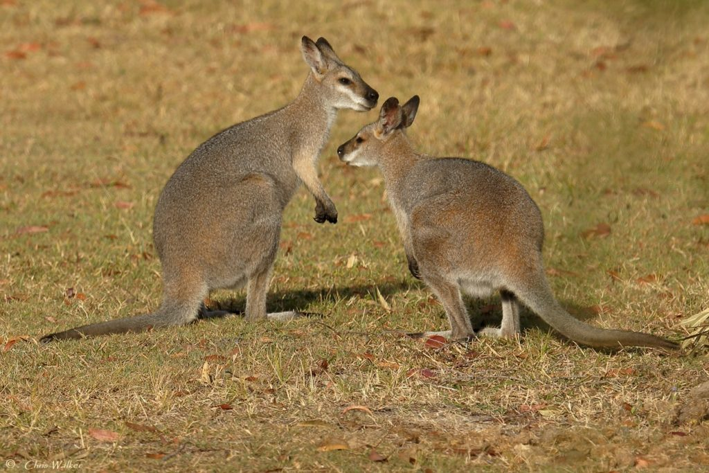 Two Red-necked wallabies in Capalaba - Wild Redlands Christmas Countdown 2020.