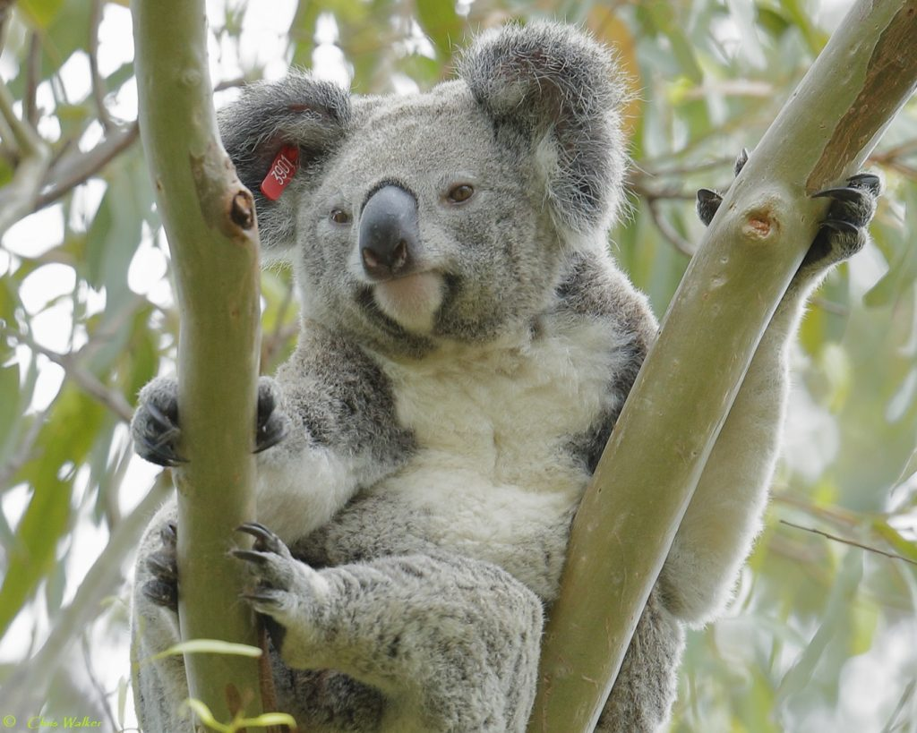 One koala in Nandeebiee Park (near Toondah Harbour) in Cleveland - Wild Redlands Christmas Countdown 2020.