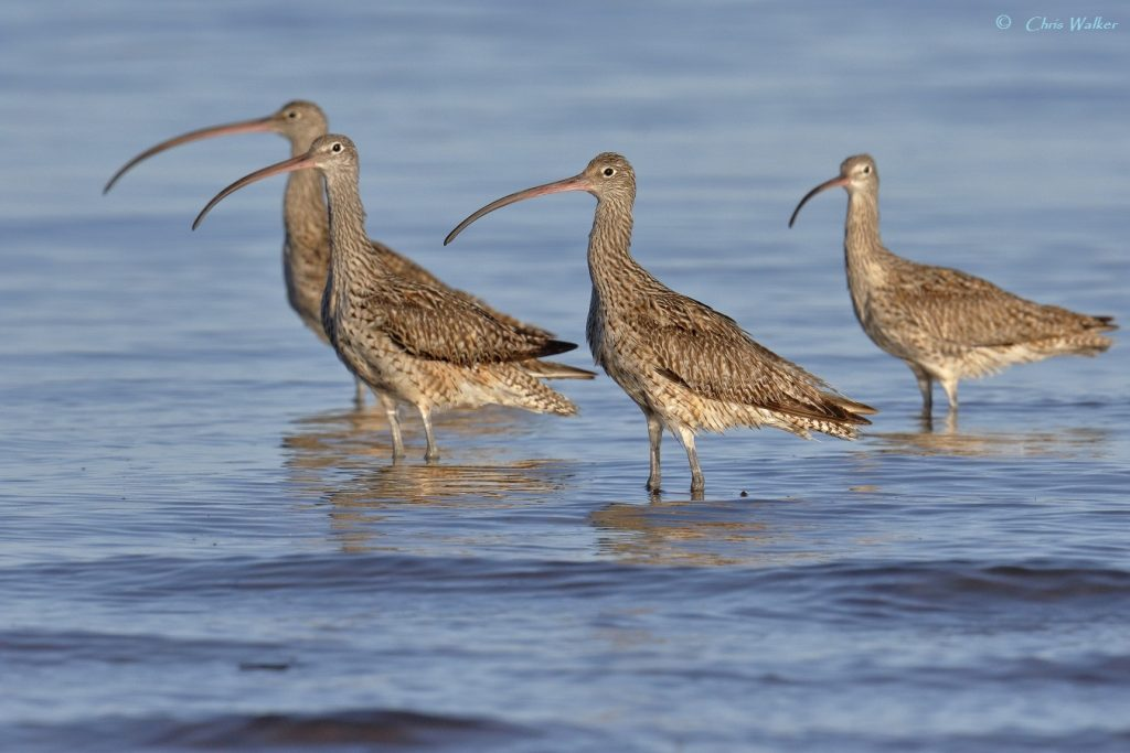 Four Eastern curlews at Oyster Point (near Toondah Harbour) in Cleveland - Wild Redlands Christmas Countdown 2020.