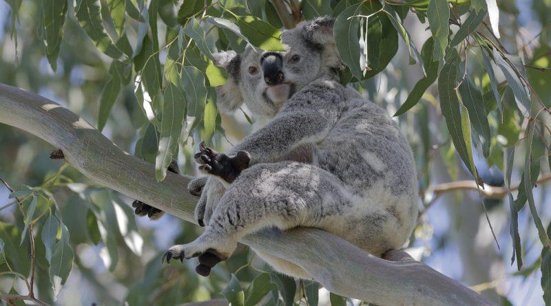 Ruby koala in G.J. Walter Park on 10 May 2021
